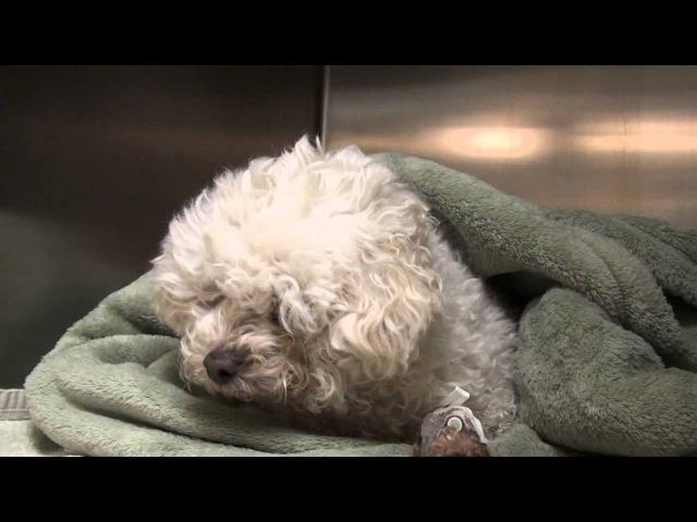 Слабая собака с гипогликемией: анализы крови, сироп Каро и внутривенная инфузия / Weak Hypoglycemic Dog: Blood Tests, Karo Syrup, and IV Fluids Helped!