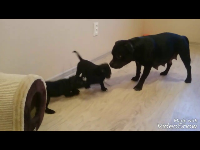 Стаффбуль. Воспитание щенков мамой. Staffy. Mom and puppies playing.