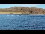 Белухи в устье реки Воронья-Beluga at the mouth of the river...