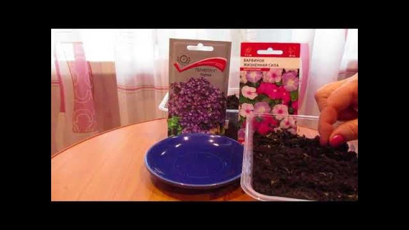 Сею розу полиантовую,гелиотроп и барвинок