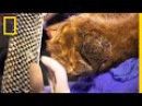 See How Fish Skin Bandages Help Heal Bears Burned in a California Wildfire National Geographic