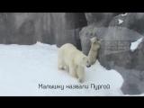 Белый медвежонок в зоопарке Ижевска.
