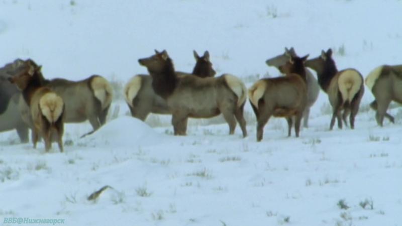 BBC «Жизнь млекопитающих (05). Плотоядные» (Познавательный, природа, 2002)