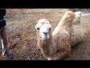 Pinmix08 - 02nov2014 - селфи с верблюдом