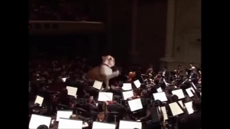 Кот - дирижер. Моцарт - День Гнева