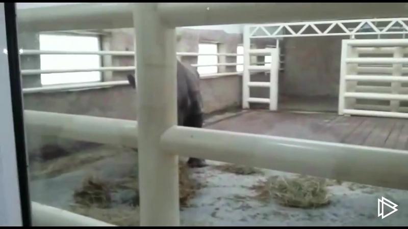 В Ростовском зоопарке впервые показали белого носорога