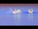 Музыка Для Души. Доброте, любви и верности, учат лебеди людей