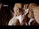 Животные мира Леопард Семейство кошачьих Хищники мира Поле боя Людоеды Причина нападений Охота