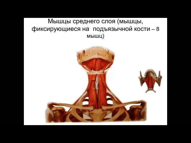 Мышцы шеи. Фасции шеи. Топография шеи