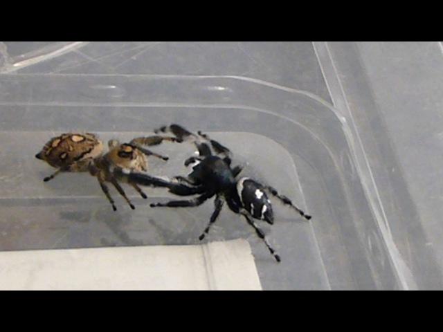 Phidippus regius (Regal Jumping Spider) pairing 30/10/16