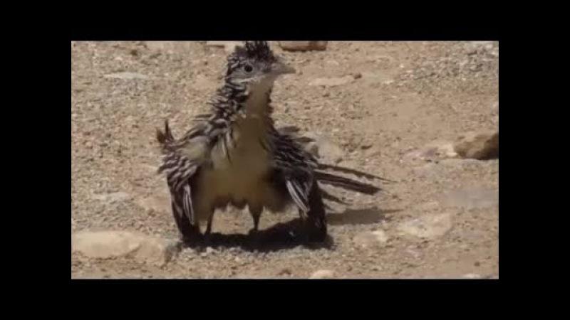 Lesser Roadrunner / Малая кукушка-подорожник / Geococcyx velox