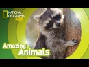 Kids' English Raccoon AMAZING ANIMALS