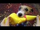 Джек Рассел Терьер - когда у твоей собаки дурка