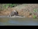Ягуар. Охота на крокодила! 1