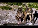 Племя бабуинов дружно мигрирует в лучшие края Частный заповедник дичи Джума Африка Камо грядеши 20 01 2018