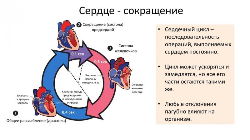 Кровеносная система - Сердце