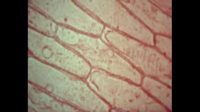 04.Растительная Клетка