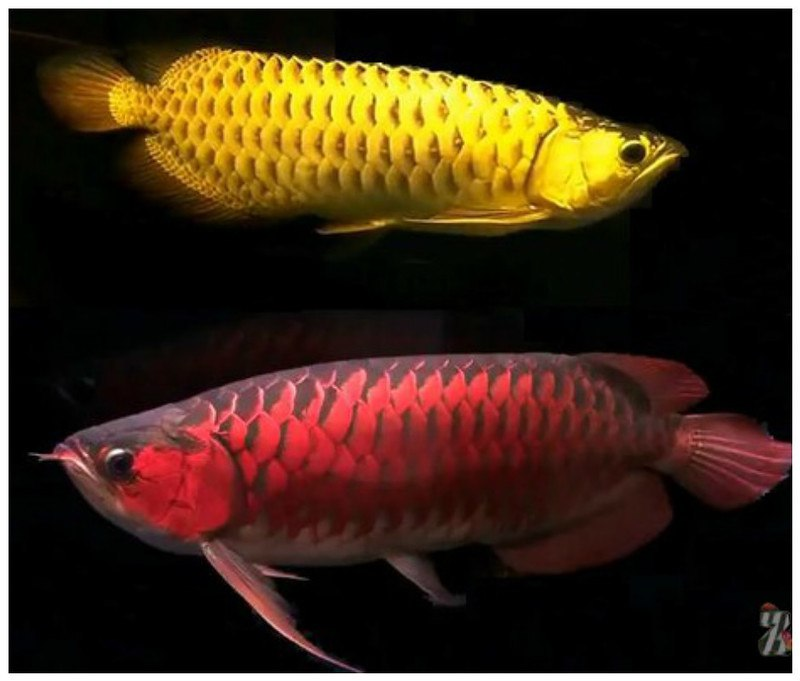 Hk99B qMQsE - Рыба-Символ удачи стоимостью в 400 тыс. дол.