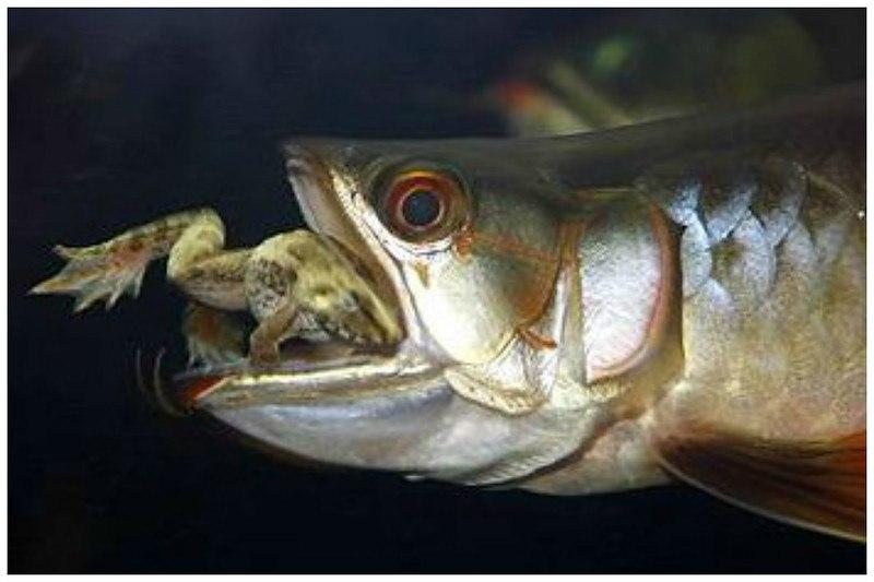 Рыба-Символ удачи стоимостью в 400 тыс. дол.