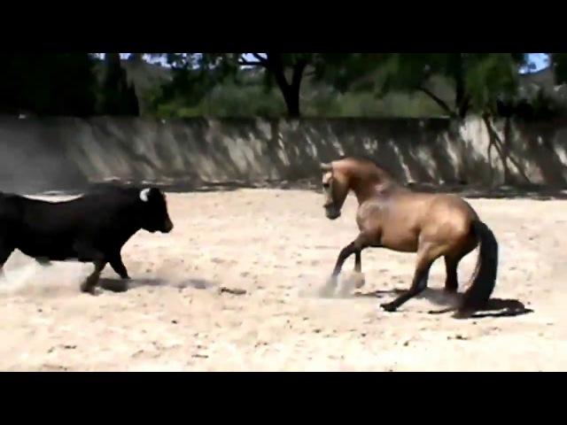 Cavalo vs Touro luta bruta