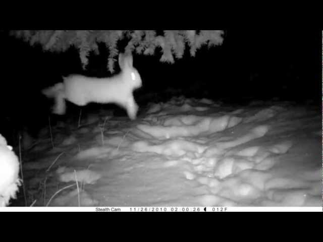 MPG Ranch : Snowshoe Hare Plays in the Snow 11-26-10