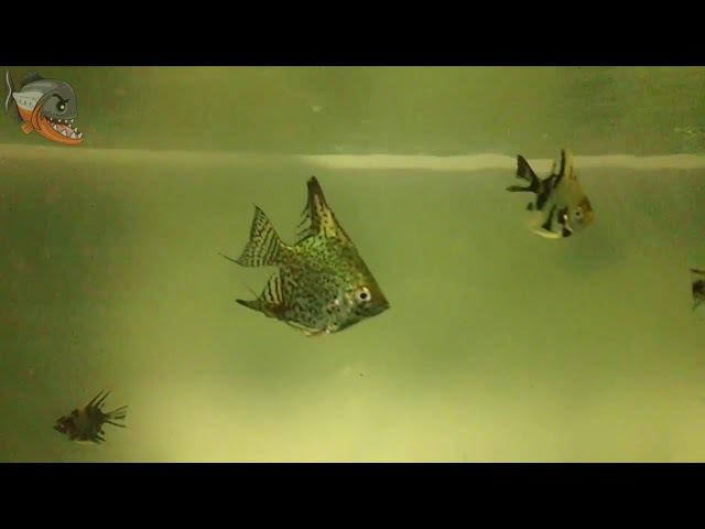 Переезд на разводню. Стартап на разведении аквариумной рыбы!