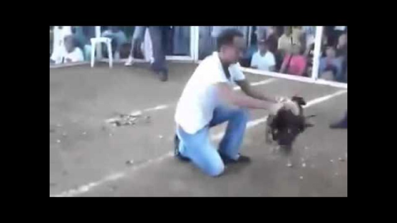 Gallo decapita asu Rival