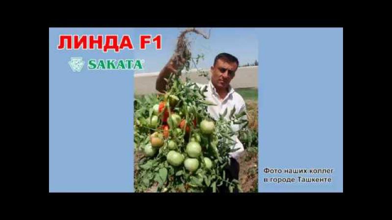 Линда F1 қызанағы - выращивание томата Linda F1 (Шымкент, 2017)