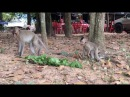 What Happened To Baby Monkey and Teenage Monkey, Monkeys 1072 Tube BBC