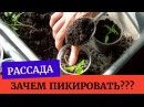 🌱Такая нужная пикировка Зачем пикировать рассаду петуний томатов, перца и других растений