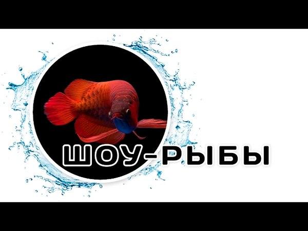 Шоу рыбы. Каламоихт, Арована и другие