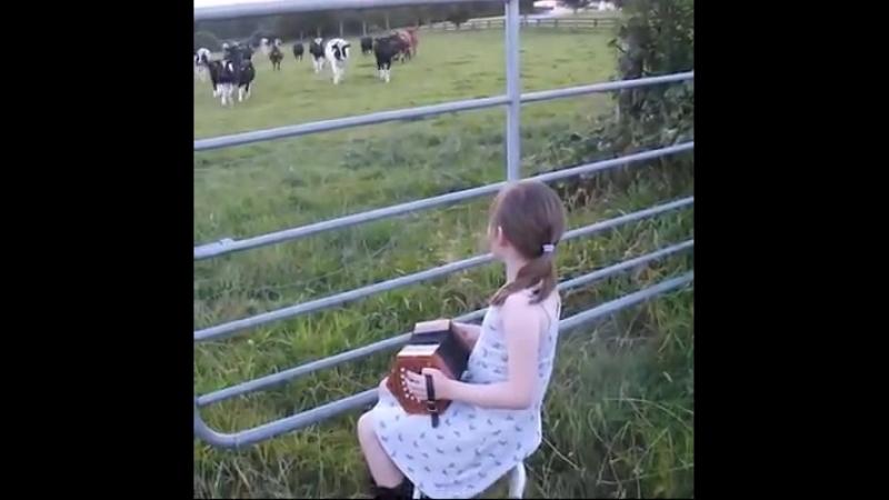Les vaches aiment la musique.
