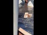 В Ленинградской области местные рыбаки обнаружили Лох-несское чудовище. На самом деле в залив приплыл горбатый кит. Заблудился