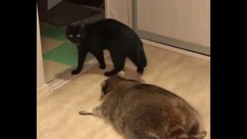 Енот охотится на кота