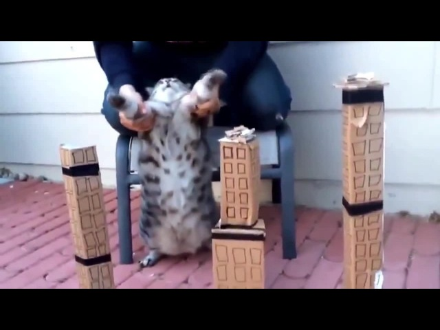 Fluffy Catzilla · coub коуб