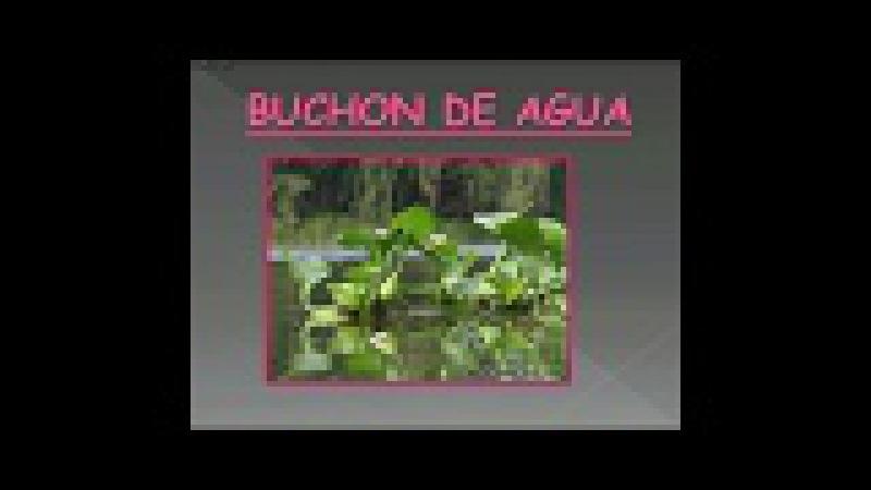 El Jacinto de Agua o Buchon