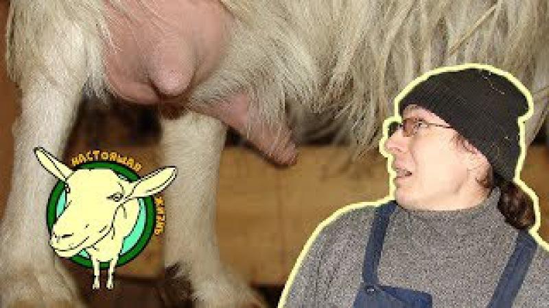 Первый страх начинающего козовода. Как подоить козу? Дойка козы с короткими соск...