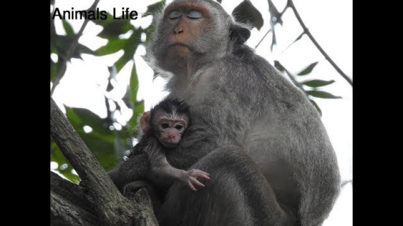 Congratulations Baby Monkey Just Born Today - Newborn Baby Monkey so lovely 199
