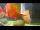 Super Red And Gold Severum Spawn