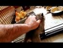 Как лиса ловит мышей - лисы на охоте, приколы