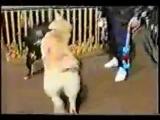 Собачьи бои АСТ стафф Боря и Алабай