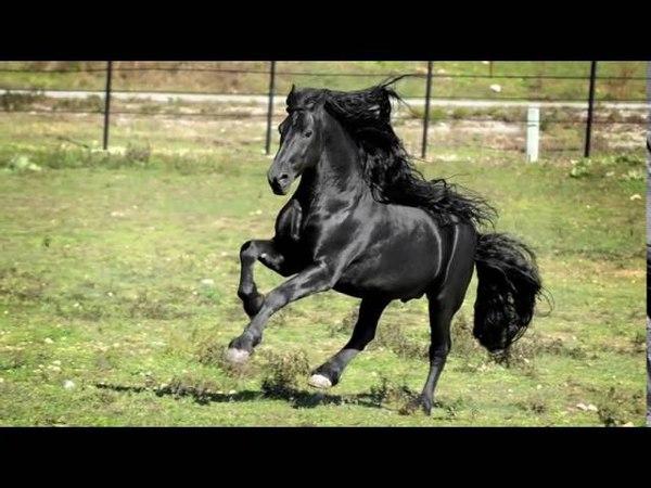 Самый красивый конь в мире по кличке Фредерик Великий.