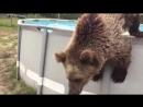 Милый медведь купается в бассейне забавные животные