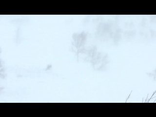 Росомаха напала на оленя.