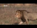 «Суперхищники Лев» Документальный, природа, животные, 2010