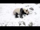 Панда радуется снегу