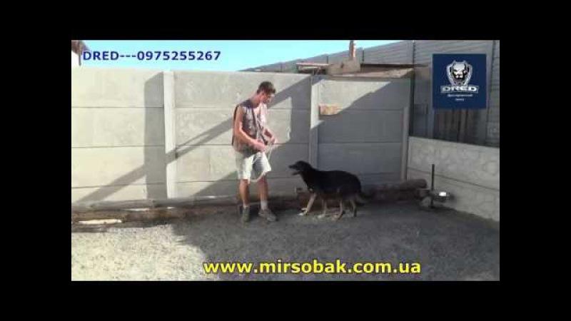 агресивная собака и решение проблемы в центре DRED