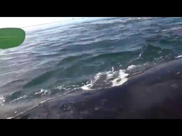 Pai e filha levam susto ao serem levantados por uma baleia