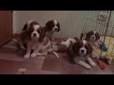 Puppies Cavalier King Charles Spaniel Щенки Кавалер Кинг Чарльз Спаниель