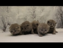 Британские котята ми-ми-ми - British kittens 20 days